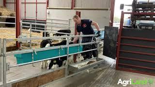 小牛运输在Pierce Breen in Co. Limerick农场箱