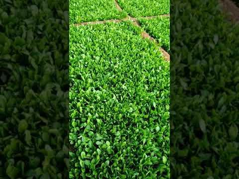 S B J M Fulchand Ka green vegetables Keti......