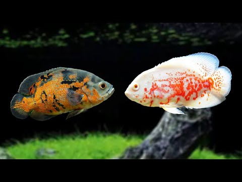 Top 10 Ways To Prevent Oscar Fishes From Fighting