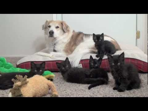 Thumbnail for Cat Video Dog Plays With Foster Kittens