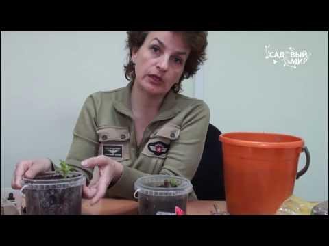 Как проращивать георгины  Размножение георгин черенками