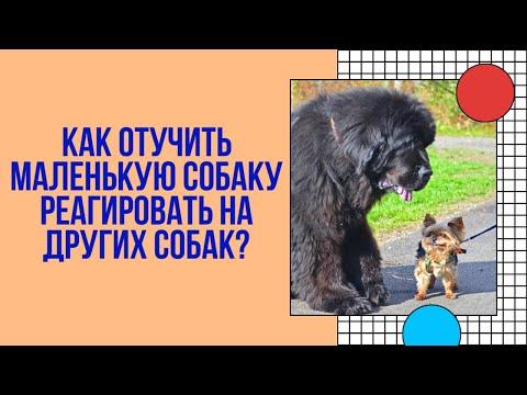 Вопрос: Собака Йорк кидается на других собак. Как отучить?