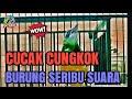 Di Jamin   Cucak Cungkok  Cocok Buat Masteran Murai Batu Kacer Cucak Hijau Suara Mantapp  Mp3 - Mp4 Download