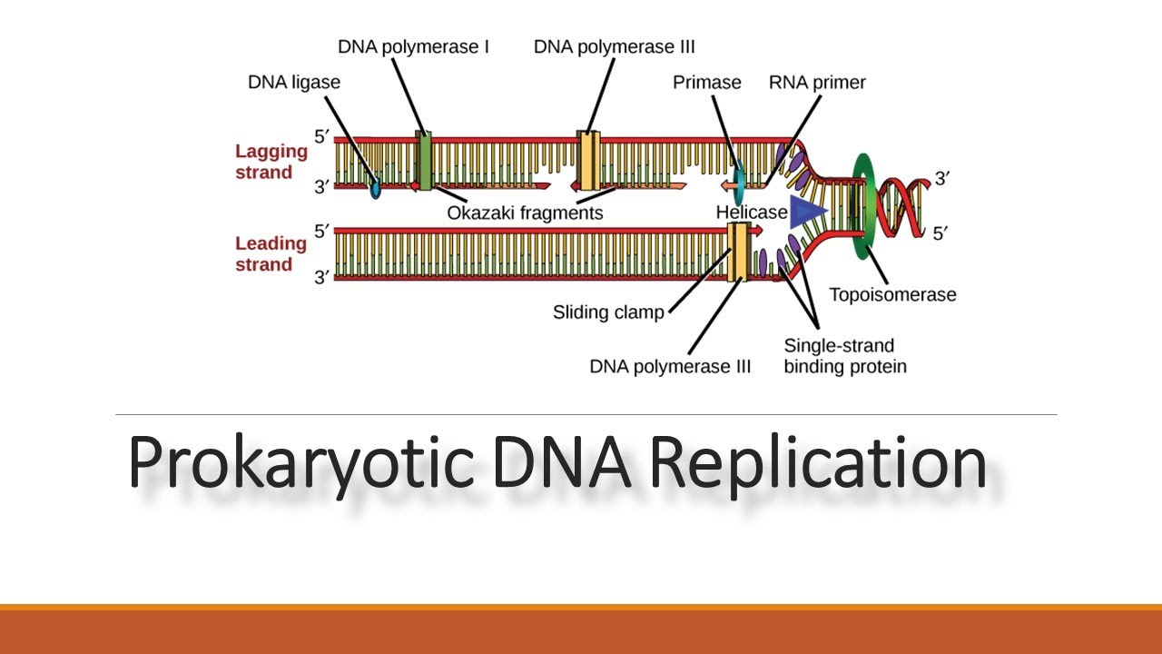 Dna Replication In Prokaryotes Process And Enzyme Involved In Replication Youtube