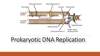 This video explains about dna replication in prokaryotes : process and enzyme involved unwinds at the origin of replication. helicase open...