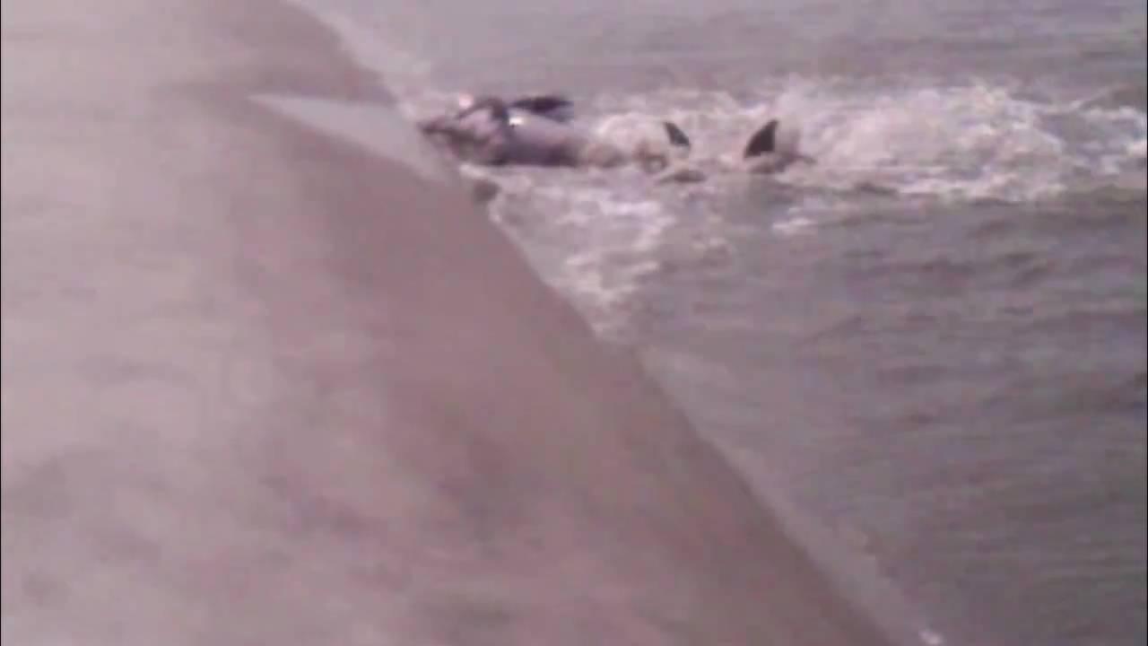 Dolphins strand feeding kiawah island at captain sams inlet youtube dolphins strand feeding kiawah island at captain sams inlet geenschuldenfo Choice Image