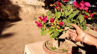 Beatifull bougainvillea bonsai plant and its  shaping/trimming/cutting/prunning in hindi/urdu
