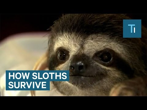 How Sloths Use Their Slow Motion To Their Advantage