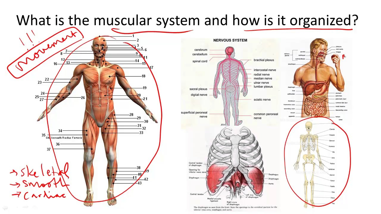 Muscular System Structure And Function Youtube