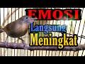 Cucak Jenggot Mini Burung Bersuara Menakutkan Bikin Burung Emosi  Mp3 - Mp4 Download