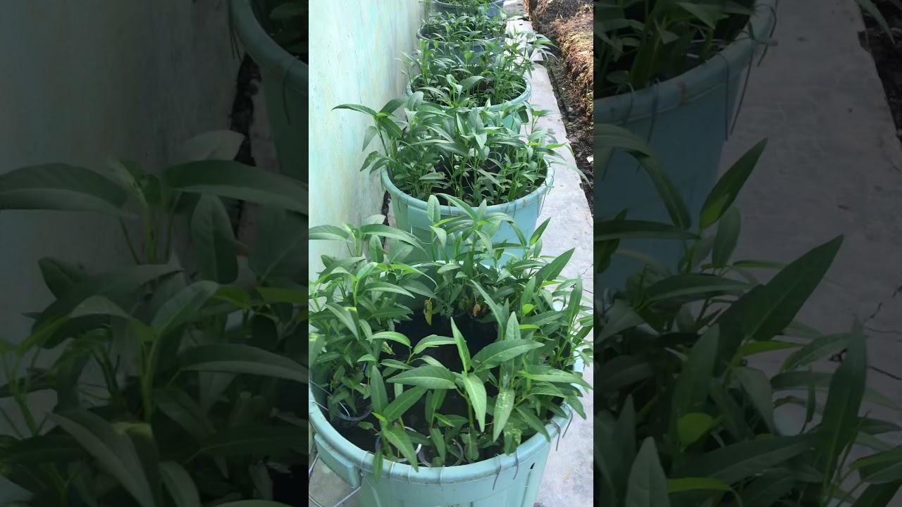 Budidaya ikan lele dalam ember dan menanam kangkung Aqua ...