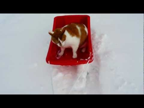 Mozer The Sled Riding Cat
