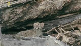 Большие кошки  Леопарды   Дикие хищники  Документальный фильм