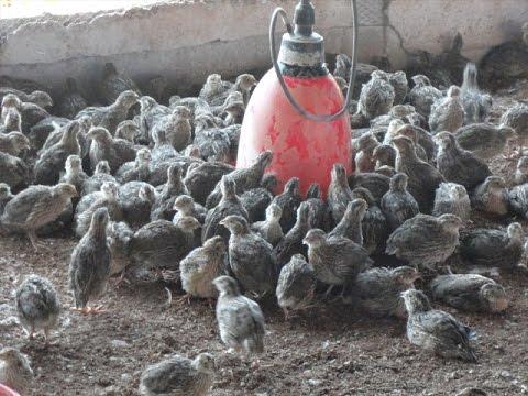 Kadai farming part 4. காடை வளர்ப்பு பாகம் 4