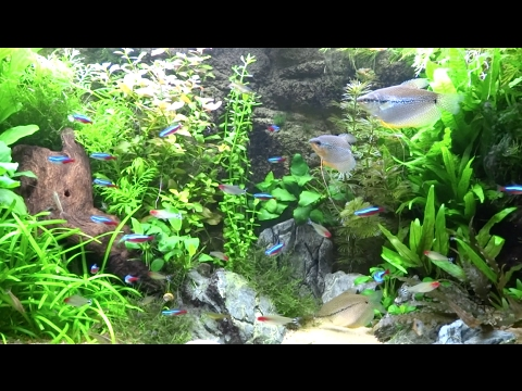 38 Gallon Planted Community Aquarium Long Relaxing Video
