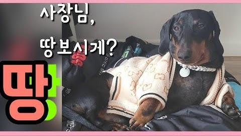 [겨울일상]# 100  닥스훈트○●겨울이네복덕방●○ 1살강아지(13개월) |강아지의 노른자땅
