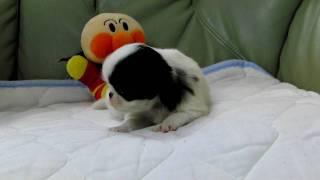 2010年1月1日生まれの狆の子犬です。 http://wanboh.net/item/japanese-...