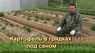 Картофель в грядках под сеном(Про этот способ я писал в этой статье: http://svoitomaty.ru/vyrashhivanie-kartofelya-pod-solomoj-ili-senom/, 2015-06-14T19:38:09.000Z)