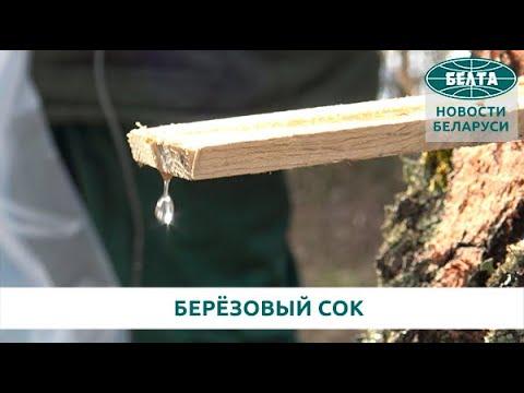Вопрос: Когда собирать березовый сок в Беларуси Какие сроки сбора?