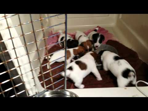 Jack russell terrier puppies for sale in dallas texas tx houston corpus christi - Jack russel queue coupee ...