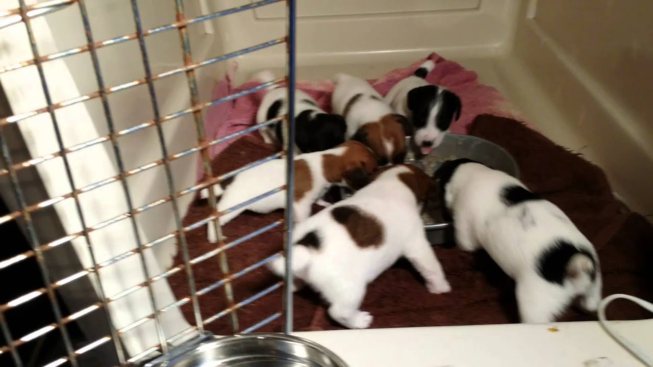 Jack Russell Terrier Puppies For Sale In Dallas Texas Tx