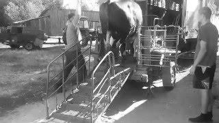 Ostatnie pożegnanie, czyli sprzedaż byka!
