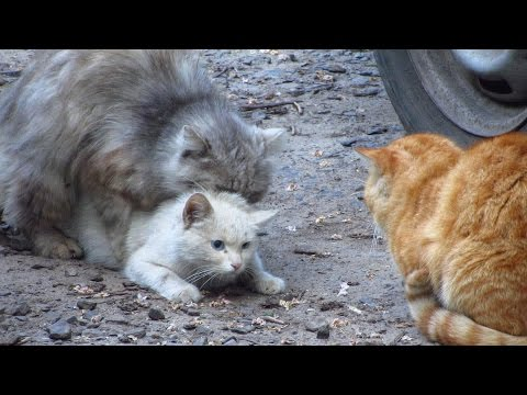Cats mating - Group cats mating on the...