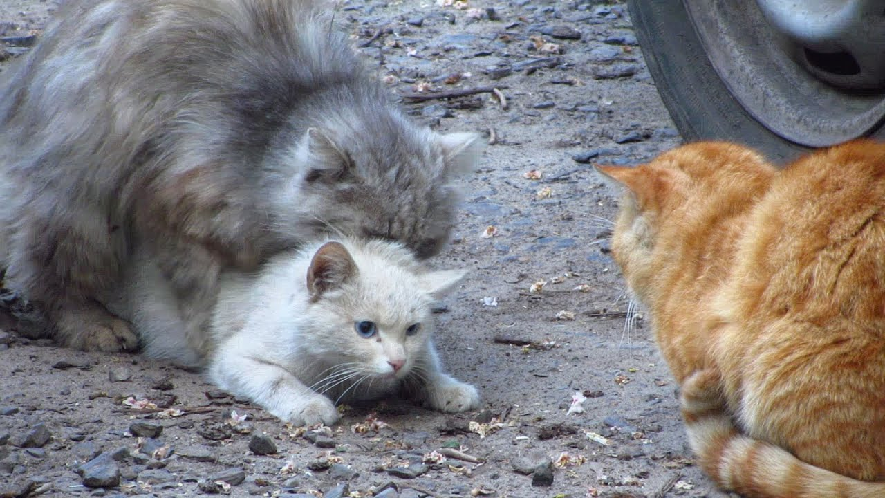 Cats mating Group cats mating on the street