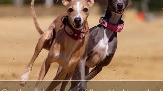 Greyhound  Dog Breed  Pet Friend