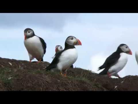 Puffins -Farne Isles 16th June 2019 -    4K UHD - Sony FDR-AX1