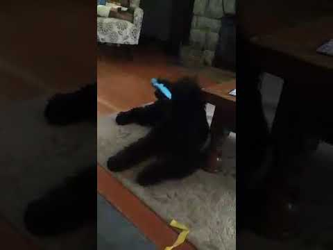 Irish Water Spaniel karaoke