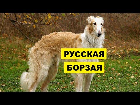 Собака Русская борзая плюсы и минусы породы | Собаководство | Порода Русская борзая