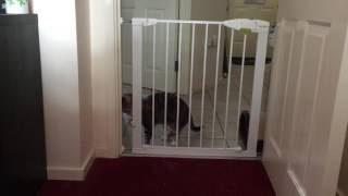 Our lovely (stupid) cat tries to navigate the new baby gate. - Cat Fail (eventual Cat Win)