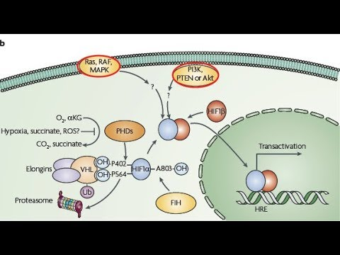 Hypoxia Inducible factor 1 (HIF-1) pathway | Cancer metabolism | Hallmarks of cancer explained