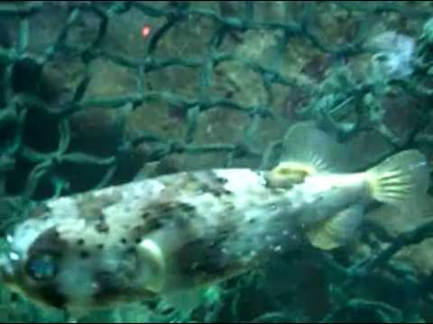 Puffing up puffer fish youtube for Puffer fish puffing