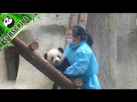 Panda baby loves nanny's arms