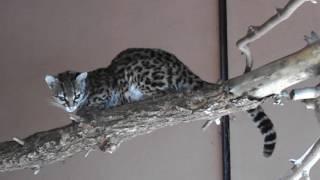 Кошка маргай - Felis wiedii