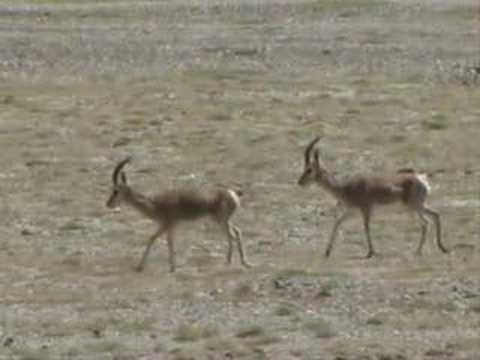 Crossing the Ridge 羚羊過山崗 - Dadawa 朱哲琴
