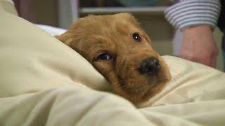 Cute Golden Retriever Puppy Photo Shoot! | DrsFosterSmith.com