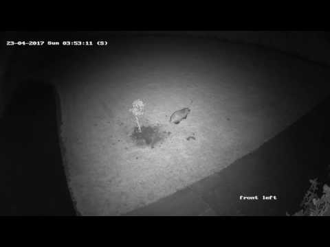 Badger eating young rabbits on CCTV