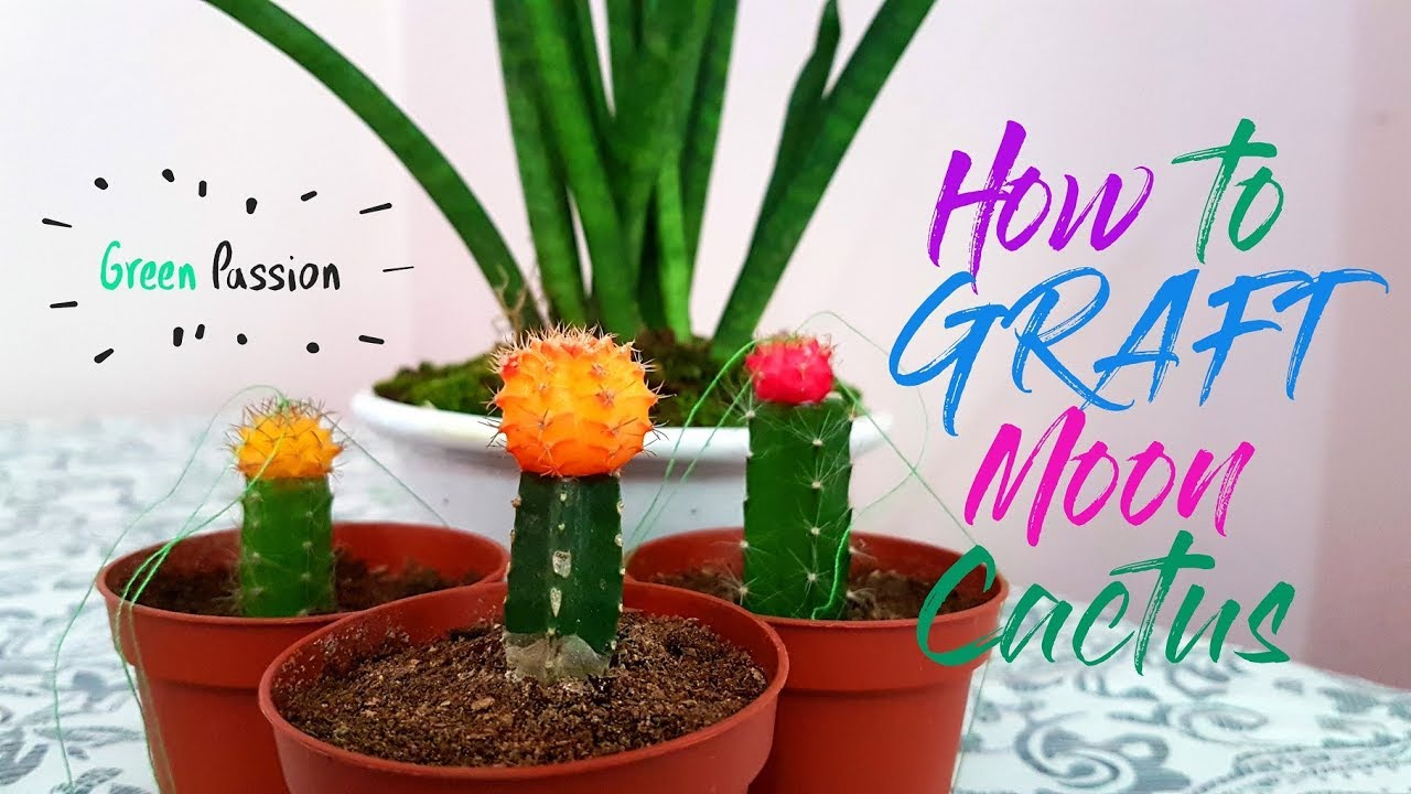 Well-known How to Graft Moon Cactus | Mini Moon Cactus | Cactus and Succulent  JP41