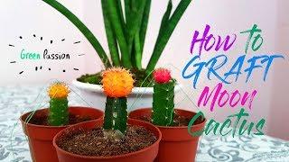 How to Graft Moon Cactus   Mini Moon Cactus   Cactus and Succulent Garden