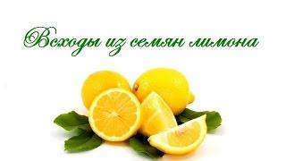 Всходы из семян лимона(Продолжение видео о том как посадить семечко лимона Моя партнерская программа VSP Group. Подключайся! https://youpa..., 2015-02-02T12:21:48.000Z)