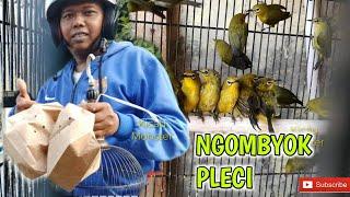 NGOMBYOK PLECI DI KIOS BURUNG BANG ANTON COMAL