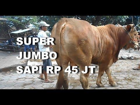 GT-PS #34 Harga Sapi Potong. Super Jumbo !! Sapi Limousine 45 Jt Di Psr Hwn Prambanan Klaten