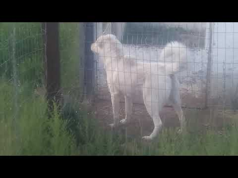 My Akbash Livestock Guardian I keep with the chickens