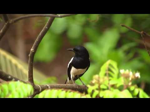 Melodious Oriental Magpie Robin