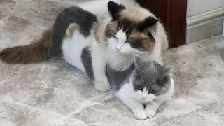 What happens when a cat estrus mats a Ragdoll Cat and a blue and white cat? Will the kitten be born