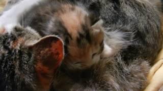 У двух мамок дитя без глаза!!! Родился котенок у Муси.
