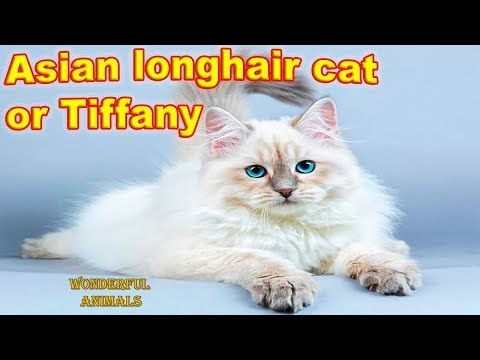 Asian longhair cat or Tiffany - fluffy, cute, playful and attractive cat / Compilation